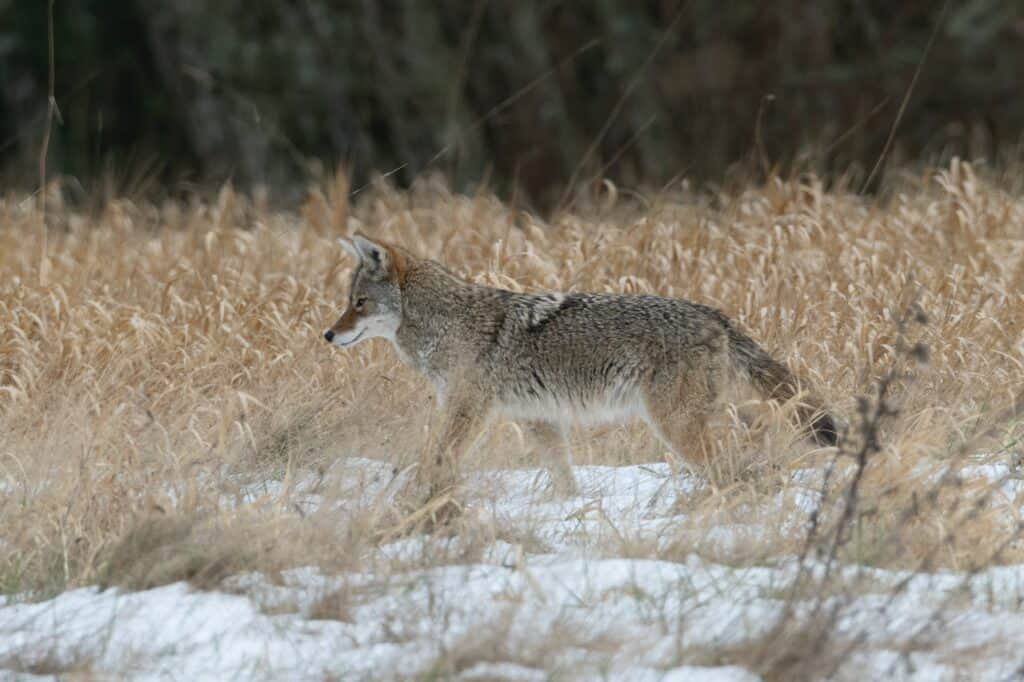hunting coyotes