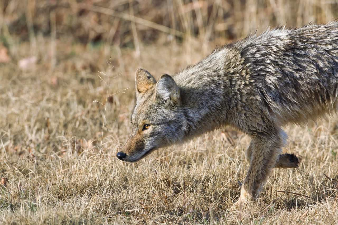 coyotes hunting